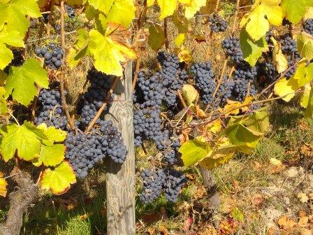 Vin sans soufre sulfite bio biodynamie naturel